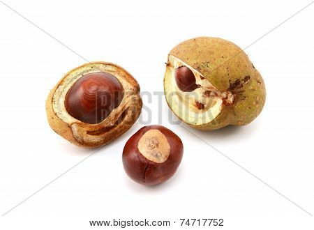 Conkers And Open Seed Cases From A Red Horse Chestnut