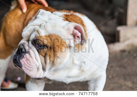 Old English Bulldog looking stranger in Thailand