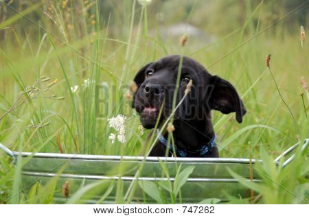 Puppy Playing in the weeds