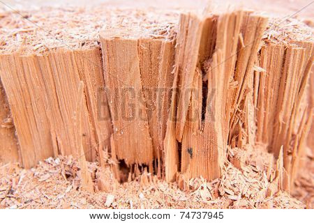 Macro Of A Cut Down Cedar Tree