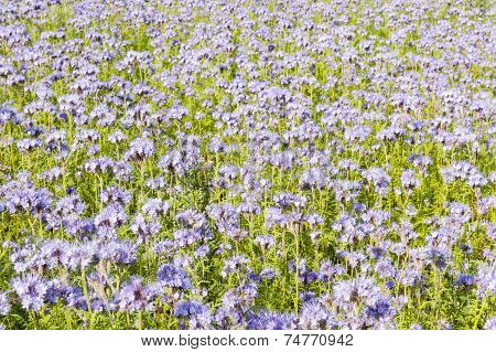 Field of lila wildflowers in green flowerbed for honey bees poster