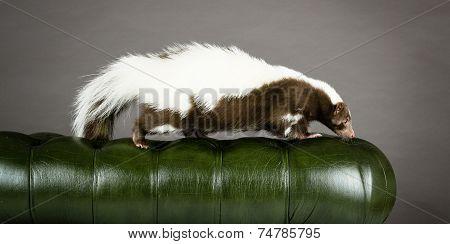 skunk walking