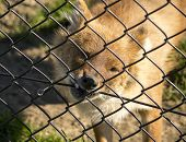 Asian wild dog or dhole trying to free himself by biting the fence. poster