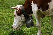 Grazing cow's head with a bell round its neck. poster