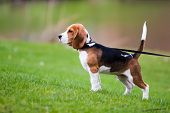 Dog on green meadow. Beagle puppy walking poster