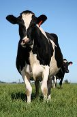 Black and white milk cows in a pasture with lush green grass poster
