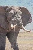 Elephant with huge tusks just walking in plane sight over the grasslands of the Ngorongoro Crater in Tanzania. poster