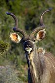 Kudu Bull poster