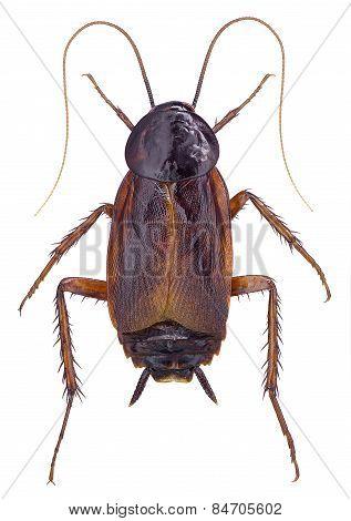 Cockroach (Blatta orientalis)