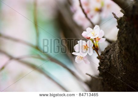 Soft and tender cherry blossom (sakura) blooming near a tree branch, with pastel pink and blue (sky) background. Shallow depth of focus.