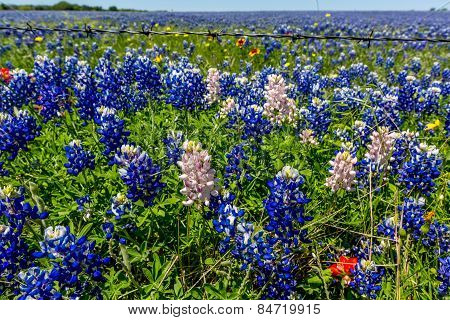 A Closeup Wide Angle View of a Field Covered with Texas Bluebonnets, a few White Too.