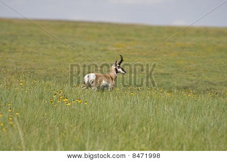 Custer State Park Antelope