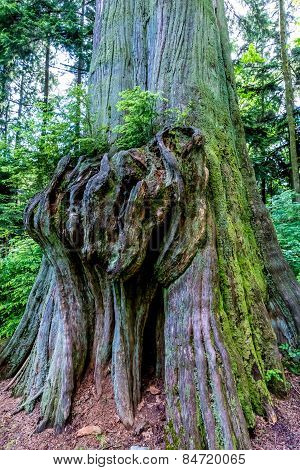 Beautiful Large Tree in the Lush Pacific Northwestern Rain Forest.