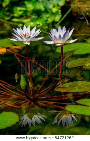 A Pair of Tropical White Water Lily Flowers