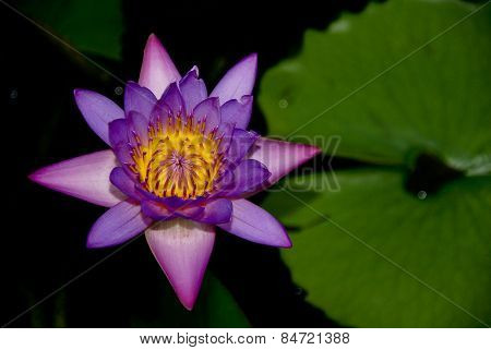 Tropical Variety of a Purple Water Lily