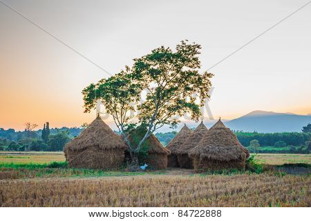 Dried Rice Field With Straw Huts
