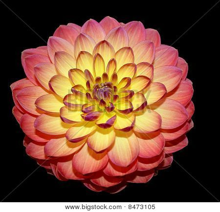 Dahlia red pink yellow black background
