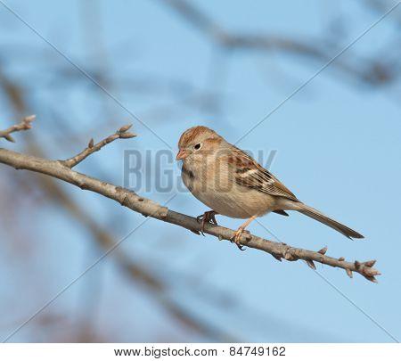 Field Sparrow perched in an Oak tree