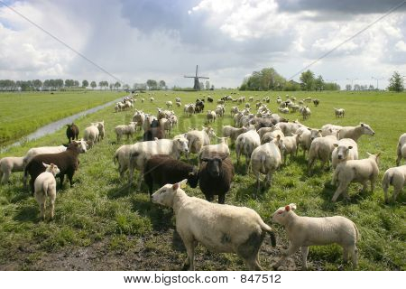 sheep in dutch landscape with windmill in background poster