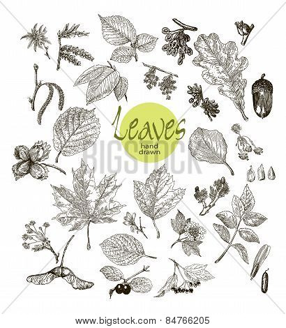 Collection of highly detailed hand drawn leaves, fruit and inflorescence  isolated on white backgrou