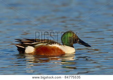 wild duck on the lake (anas clypeata)