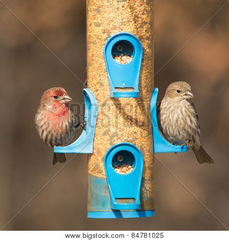 House Finch, Carpodacus mexicanus, couple at feeder in winter