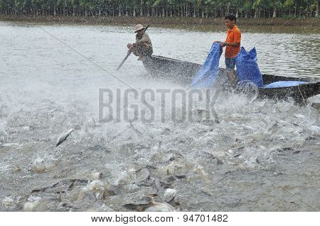 Can Tho, Vietnam - July 1, 2011: Farmers Are Feeding Pangsius Catfish In Their Pond In The Mekong De