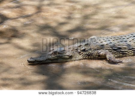 Portrait Of A Nile Crocodile