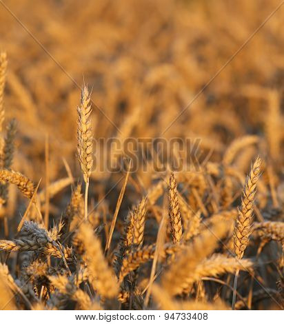 Big Ears Of Wheat In The Field In Summer