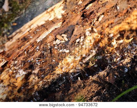 Big Ant Hill With Ant Eggs