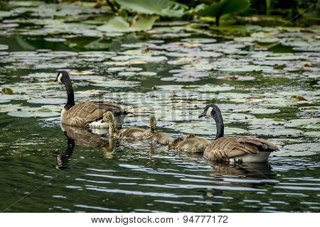 Two Geese And Their Goslings.