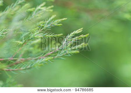 Green Pine Branch