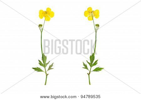 Pressed and Dried bush Meadow Buttercup (Ranunculus acris) photographed from the front and the back side. Isolated on white background. poster