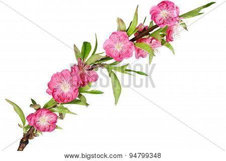 Cherry Flower Branch