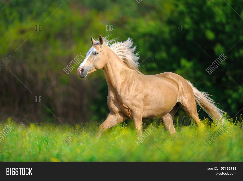 Beautiful Palomino Image Photo Free Trial Bigstock