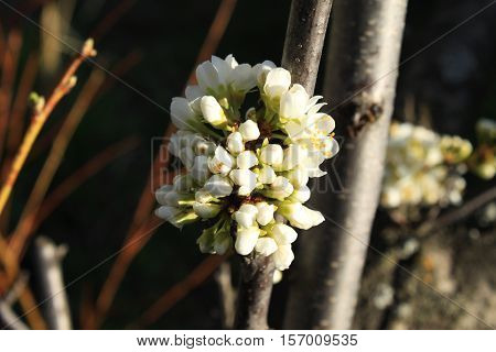 the awakening of nature, spring plum blossom in the garden