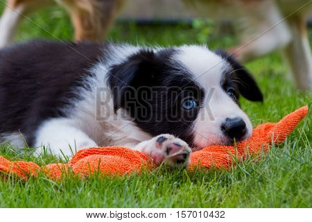 Border collie Puppy playing in the grass with a red toy