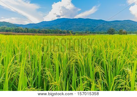 Golden Rice Field With Blue Sky