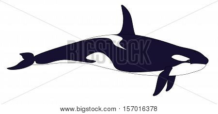 Killer whale. Realistic grampus isolated on a white background. Orcinus orca. Vector illustration.
