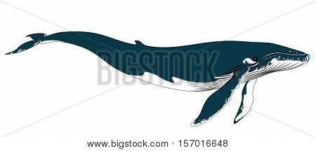 Vector illustration of realistic big blue whale on a white background.