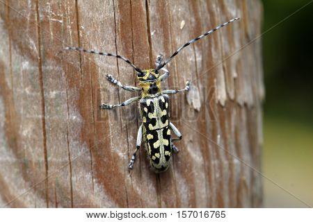 Leptura / Leptura rubra beetle sitting on a wooden surface