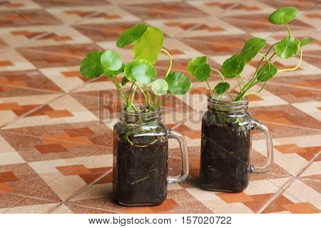 Asiatic Pennywort In Glass Jar