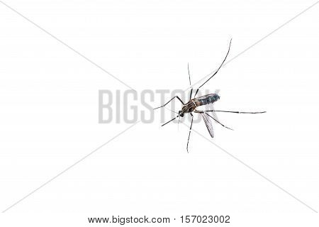 A close-up of a Mosquito on isolated background