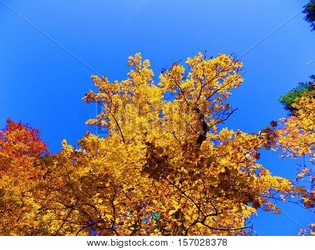 Yellow leaves on deciduous trees in deciduous forest and blue sky during autumn