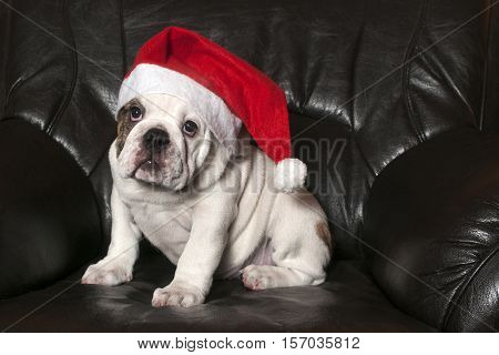 Young english bulldog wearing Santa hat sitting on on black leather sofa