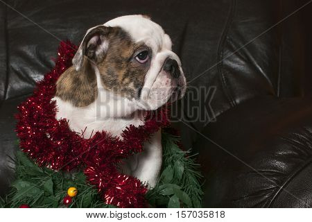 Young english bulldog wearing garland christmas decoration