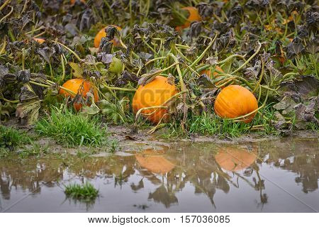 Flooded Pumpkin Patch. Pumpkins growing in a flooded field.
