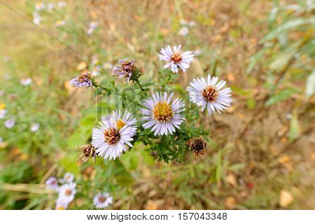 Aster Tripolium In The Meadow