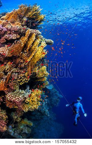 Underwater shot of the lady free diver ascending along the vivid coral reefs. Red Sea, Egypt
