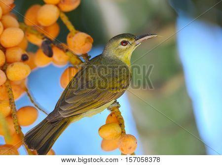 Female Brown-throated Sunbird (Anthreptes malacensis) at berry tree. Phuket island Thailand